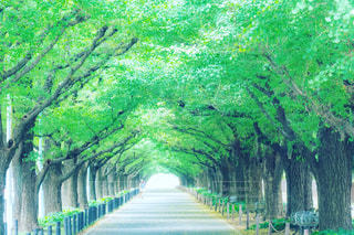 神宮の銀杏並木の写真・画像素材[3296292]
