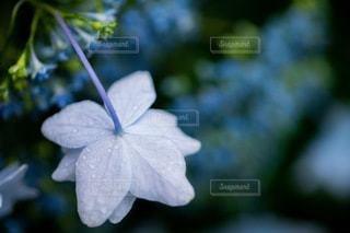 梅雨入りの紫陽花の写真・画像素材[3327260]