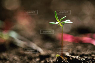 新芽の写真・画像素材[3327254]