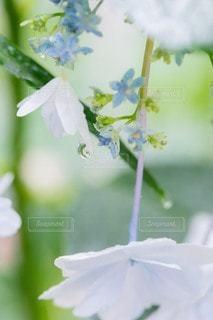 紫陽花の写真・画像素材[3344727]