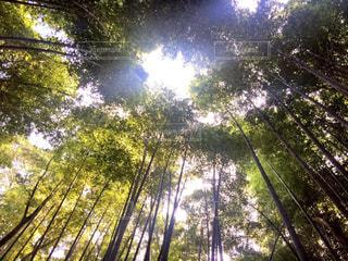 嵐山の竹林の写真・画像素材[737461]