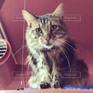 きれいな猫の写真・画像素材[744240]