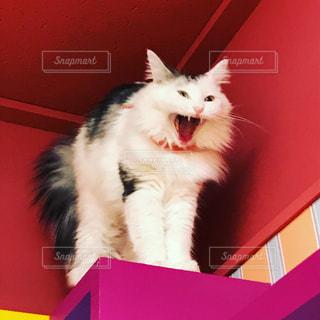 大きな口を開ける猫の写真・画像素材[744242]