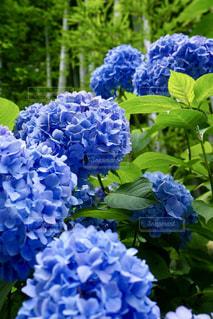 鎌倉の紫陽花の写真・画像素材[739893]