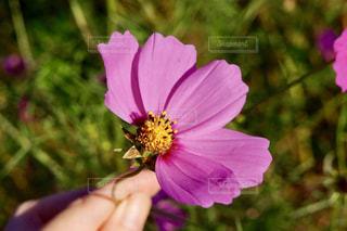 コスモスの花占いの写真・画像素材[739896]