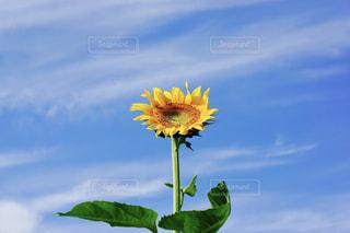 向日葵の写真・画像素材[753083]