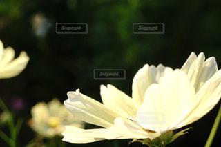 コスモス畑の写真・画像素材[794625]