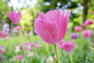 ピンクのチューリップの写真・画像素材[1026640]