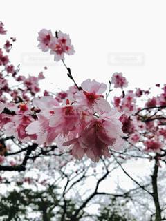 雨に濡れる河津桜の写真・画像素材[1081347]