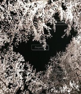 夜桜の隙間がハートの写真・画像素材[1097565]