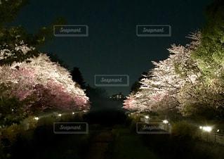 夜桜さんぽの写真・画像素材[1097567]