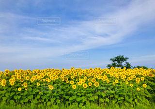 佐渡のひまわり畑の写真・画像素材[2360067]