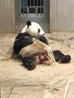 開脚して食事するパンダの写真・画像素材[742922]
