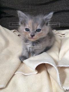 毛布の上に横になっている猫の写真・画像素材[742273]