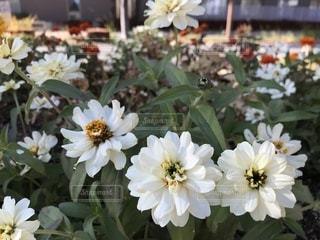 白いマリーゴールドの写真・画像素材[902094]