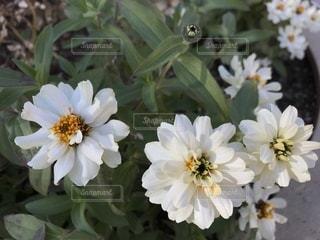 白いマリーゴールドの写真・画像素材[902096]