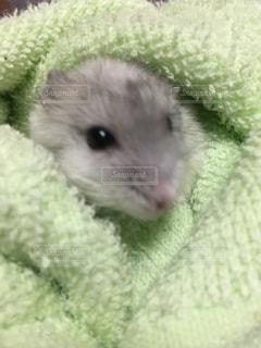 緑の毛布に小さな齧歯動物の写真・画像素材[739617]