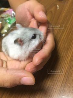 小さな齧歯動物を持っている手の写真・画像素材[739626]