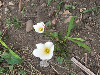 土の中横になっている花の写真・画像素材[739649]