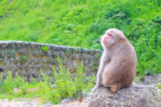 物思いにふけっている猿の写真・画像素材[740570]