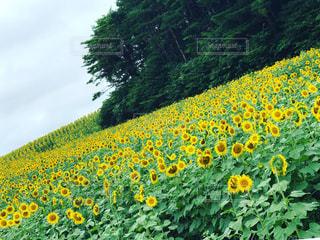緑の葉と黄色の花の写真・画像素材[740132]