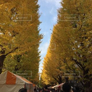 銀杏並木の写真・画像素材[740901]