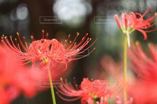 曼珠沙華、秋だね。の写真・画像素材[752172]