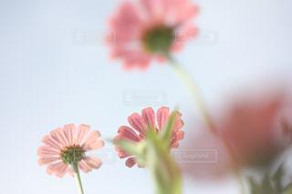 近くの花のアップの写真・画像素材[775544]