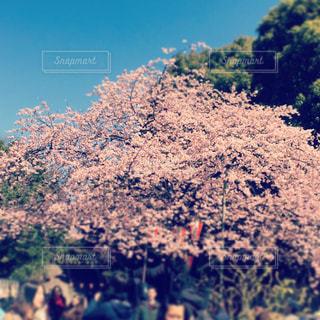 上野の桜の写真・画像素材[741607]