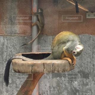 サルの写真・画像素材[742090]