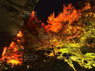 夜紅葉@八芳園の写真・画像素材[908611]