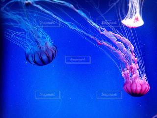 水クラ ゲの写真・画像素材[743723]