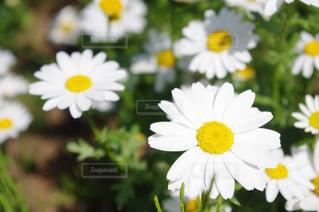 白い花 - No.753102