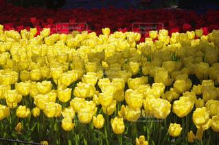 黄色の花の束の写真・画像素材[845249]