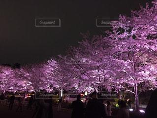 桜並木のライトアップの写真・画像素材[862361]