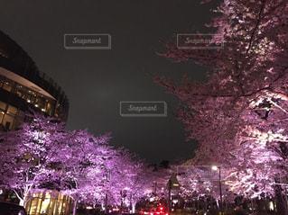 桜のライトアップの写真・画像素材[862363]