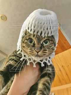 被り物を着た猫 - No.742775
