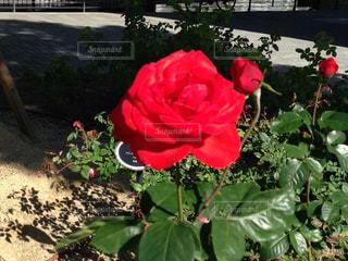 赤いバラの写真・画像素材[854984]