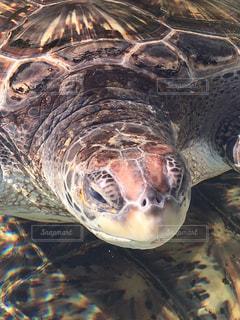 水の下で泳ぐ海亀の写真・画像素材[1056161]