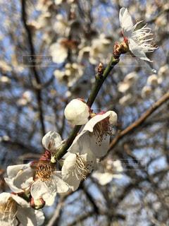 梅の花の写真・画像素材[1087318]