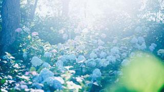 紫陽花の写真・画像素材[743549]