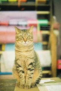 カメラを見ている猫の写真・画像素材[743840]