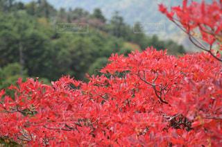 植物の赤い花の写真・画像素材[743585]
