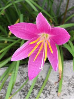 ピンクの花の写真・画像素材[749276]