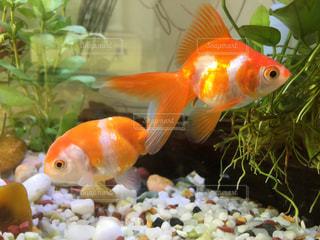 オレンジ色の魚の口を開いて 金魚の写真・画像素材[965990]