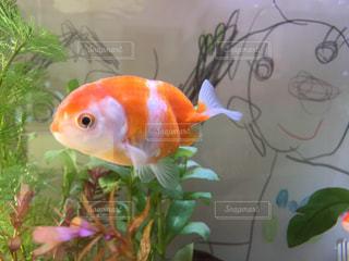 オレンジ色の魚の口を開いて らんちゅうの写真・画像素材[965991]