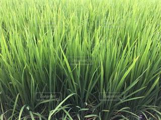 成長する稲。の写真・画像素材[744418]