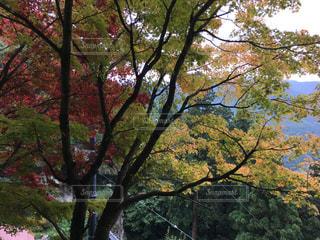 大きな木の写真・画像素材[807661]