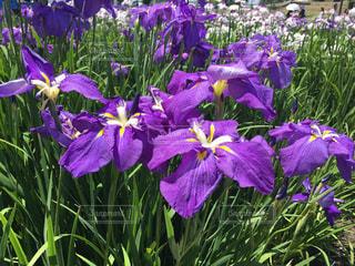 近くに紫の花のアップの写真・画像素材[1293301]