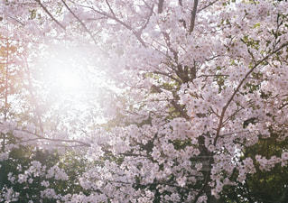 桜の写真・画像素材[1113352]